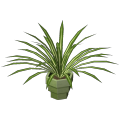 Planta de Palmeira
