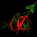Palma Santa con lazo